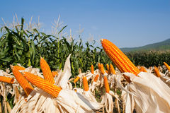Field corn for feeding livestock. (livestock fodder Royalty Free Stock Photos