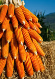 Field Corn for feeding livestock. (livestock fodder Royalty Free Stock Image