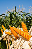 Field corn for feeding livestock. (livestock fodder Royalty Free Stock Images