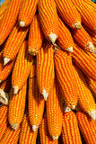 Field corn for feeding livestock. (livestock fodder Royalty Free Stock Photography