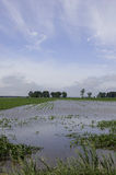 Field of corn flooded. Royalty Free Stock Photos