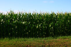 The field of corn in France. Summer Stock Photo