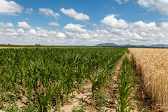 Field of corn and grain under cloudy sky. Blue cloudy sky over field of corn and grain Stock Image