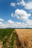 Field of corn and grain under cloudy sky. Blue cloudy sky over field of corn and grain Stock Photos