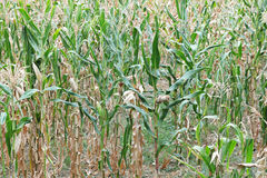 Field corn Stock Photography