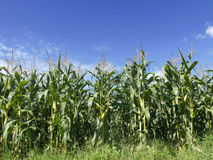 Field of corn growing Royalty Free Stock Image