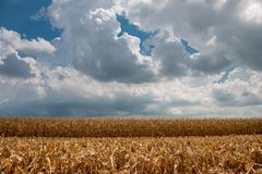 The harvest of corn royalty free stock photography