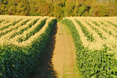 Field Corn Royalty Free Stock Photography