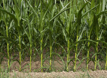 Field of corn, maize close-up Royalty Free Stock Images
