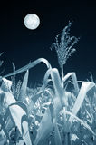 Field of Corn in the Moonlight. Field of corn and the moon in infrared Stock Photo