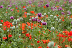 Field of corn poppy Royalty Free Stock Photo