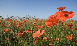 Field with Corn Poppy. Field planted with cereal and accompany Corn Poppy (Papaver rhoeas Stock Photo