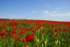 Field of Corn Poppy Stock Photos