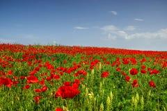 Field of Corn Poppy Stock Image