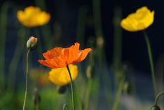 Field of Corn Poppy Flowers Royalty Free Stock Image