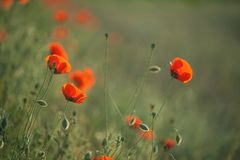 Field of Corn Poppy Flowers Stock Images