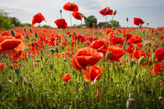 Field of Corn Poppy Flowers Stock Image