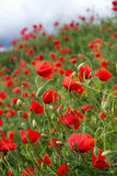 Field of Corn Poppy Stock Images