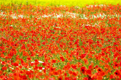 Field with corn poppy Royalty Free Stock Photos