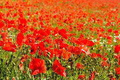 Field with corn poppy Royalty Free Stock Image