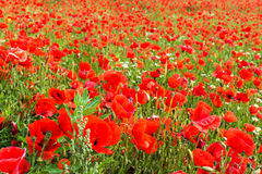 Field with corn poppy Royalty Free Stock Images