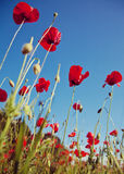 Field of corn poppy Stock Photography