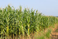 Field of corn ready for harvest Royalty Free Stock Images