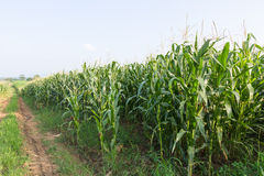 Field of corn ready for harvest Stock Photography