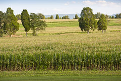 Field of Corn Almost Ready For Harvest Royalty Free Stock Photos