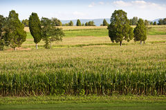 Field Of Corn Almost Ready For Harvest Stock Images