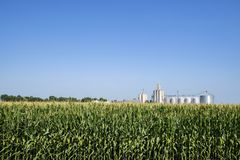 Field corn,row crop Stock Photography