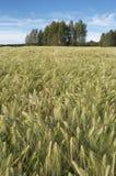 field corn rye Royalty Free Stock Photo