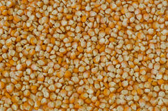 Field corn seed Stock Photo