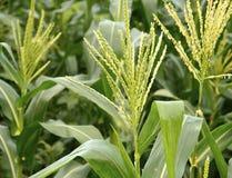 The field of corn stalks Stock Image