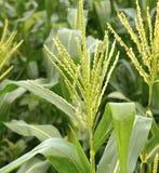 The field of corn stalks Stock Photos