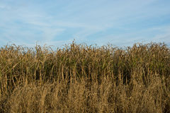A field of corn stalks Stock Image