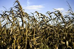 DRIED UP CORN FIELD WITH BLUE SKY. A field of corn stands ready to be harvested in the fall royalty free stock photo
