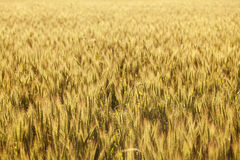 Field of corn in the summer Royalty Free Stock Image