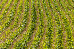Field with corn in summer Stock Image