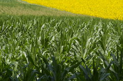 Field corn with sunflowers in the background. At summer Stock Photo
