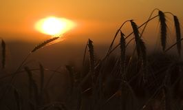 Field of Corn in Sunrise Stock Images