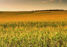 A field of corn in the sunset Stock Images