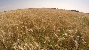 Field corn stock video