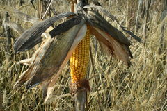 Field corn for wildlife. The campaign (in its environment) is an area of ​​open ground, or at least far away from urban centers or some town, mostly Royalty Free Stock Images
