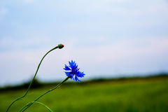 Field cornflower. The background and flower cornflower.field and cornflower Stock Images