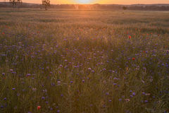 Field with cornflower and poppies in the sunrise Royalty Free Stock Photography