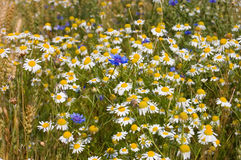 Field with cornflowers and camomiles Stock Images