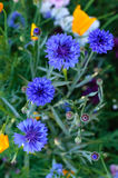 Field of Cornflowers Royalty Free Stock Images