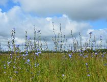 Field with cornflowers. Field, flowers, cornflowers, summer, sky, clouds, nature Royalty Free Stock Photos
