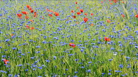 Field with cornflowers and red poppies. Panorama stock footage